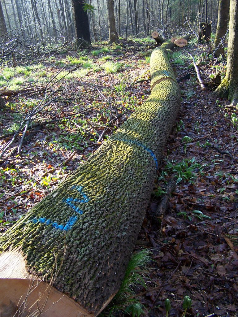 ash logs in woods